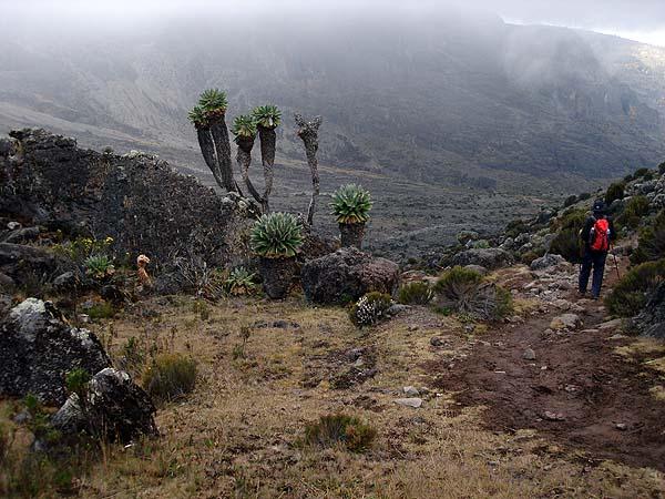 Эндемики Килиманджаро - уникальные растительные формы