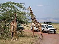 Африка, сафари в парке Серенгети в Танзании