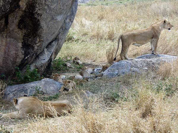 Львицы со львятами